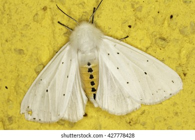 White ermine moth / Spilosoma lubricipeda