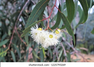White Eucalyptus or gum blossom found in New South Wales, Australia.   Most likely from Ghost Gum