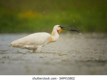 White Eurasian Spoonbill Platalea leucorodia in the lagoon on successful  hunt with fish in its beak during heavy summer rain. Europe, Hungary
