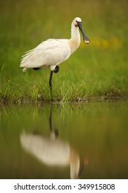 White Eurasian Spoonbill Platalea leucorodia in the lagoon relaxing on the bank of lagoon standing on only one leg. Calm water surface reflects spoonbill and green background. Europe, Hungary