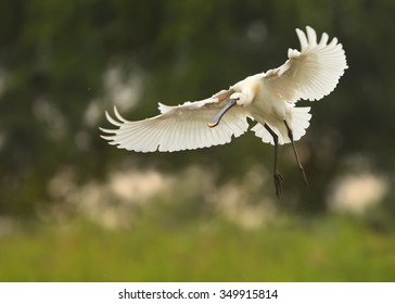 White Eurasian Spoonbill Platalea leucorodia is landing with fully outstretched wings. Dark green blurry background. Europe, Hungary