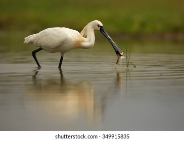 White Eurasian Spoonbill Platalea leucorodia in the lagoon on successful  hunt with fish in its beak. Calm surface reflects spoonbill and background. Europe, Hungary