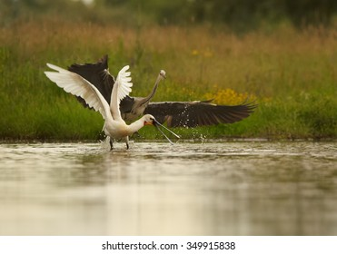 White Eurasian Spoonbill Platalea leucorodia in the lagoon running from Grey Heron. Outstretched wings. Europe, Hungary