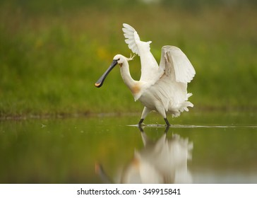 White Eurasian Spoonbill Platalea leucorodia in the lagoon on hunt with outstretched wings. Calm water surface reflects spoonbill and green background. Europe, Hungary