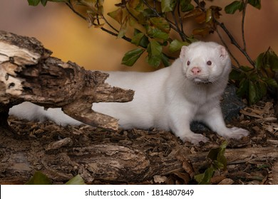 A White European mink or nerts from a fur farm in an autumn forest landscape