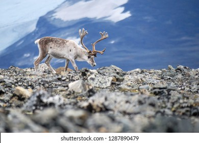 White european reindeer with glacier and mountains as a background. The reindeer (Rangifer tarandus) is a species of deer with circumpolar distribution. Jotunheimen National Park, Norway.