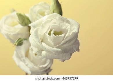 White eustoma on yellow background