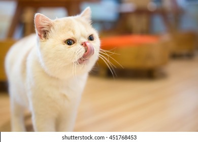 white exotic cat licking lips