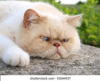White exotic cat sleeping