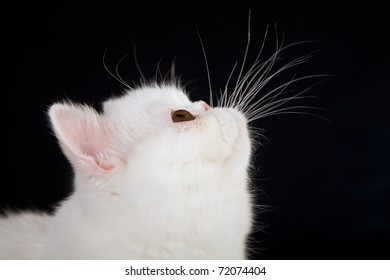 White Exotic kitten closeup side profile, on black background