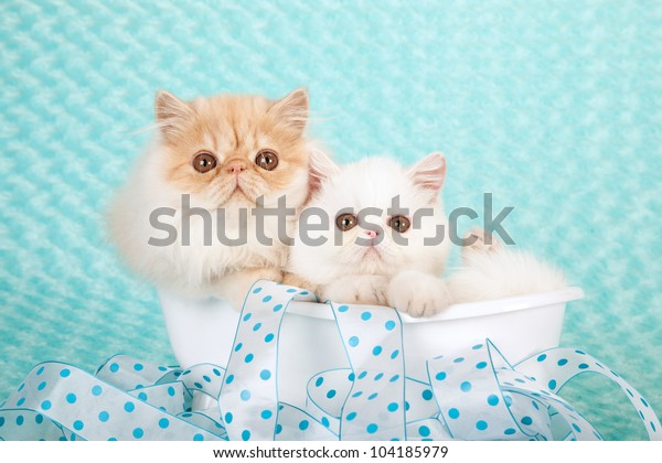 White Exotic Kitten Cream Persian Kitten Stock Photo Edit Now 104185979
