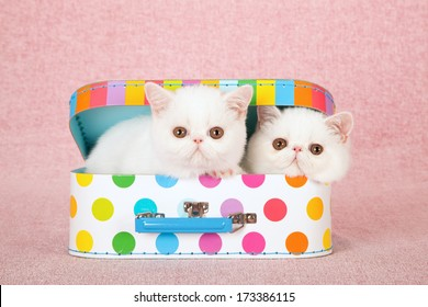 White Exotic kittens sitting inside colorful small toy suitcase box against pink background