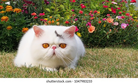 White exotic shorthair cat is laying on the floor in the garden. By colorful flowers in the background.