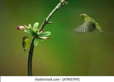 White Eye Bird (latin: Zosterops)