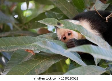 White Face Capuchin Monkey
