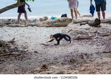 A white face monkey in Manuel Antonio National Park Costa Rica Looking for food  near the tourists on the beach.