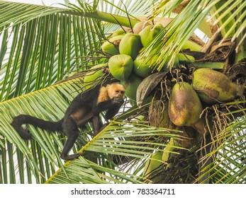 white faced capuchin - Corcovado National Park , Drake bay  Views around  Costa Rica - Central America