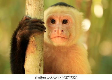 White Faced Capuchin Monkey in Costa Rica. The white-headed capuchin (Cebus capucinus) or the white-faced capuchin or white-throated capuchin, is a medium-sized monkey in Central and South America