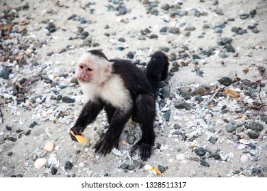 white faced capuchin monkey also known as the white headed capuchin...is a medium sized species of monkey that is native to the jungles of Central America and the northern regions of South America...