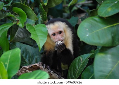 White Faced Capuchin Monkey in Manuel Antonio National Park, Costa Rica.