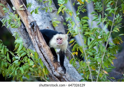 White Faced Capuchin Monkey Peaking Through the Trees in Guanacaste Region of Costa Rica
