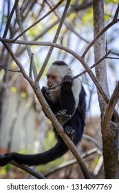 White Faced or Capuchin monkey in the trees in Costa Rica