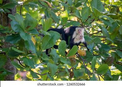 White Faced Capuchin Monkeys (Cebus Capucinus) mating