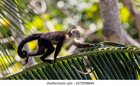 White faced capuchin on branch looking for bananas