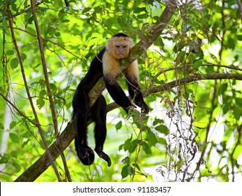 White faced Capuchin sitting in a tree, Manuel Antonio national park