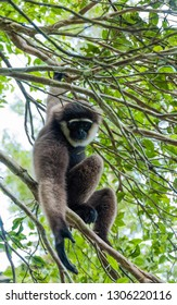 A white faced gibbon rests in the crook of a tree in Tanjung Puting National Park, Kumai, Indonesia