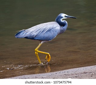 White faced heron. Elegant medium sized bird walks along shore in Queensland Australia.