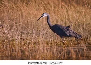 White Faced Heron in grassy swamp in New Zealand