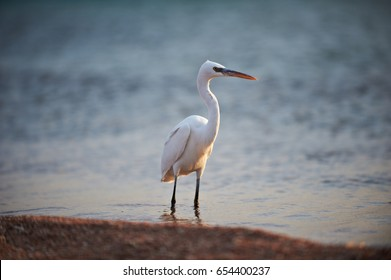 White faced Heron standing on rocky shore on the Red Sea coast