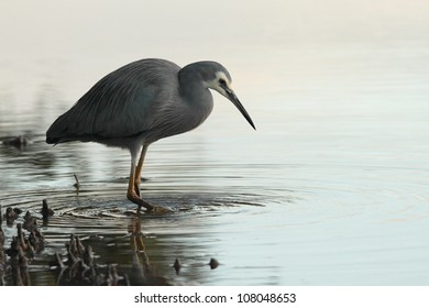 white faced heron wading in mangroves in brisbane nature reserve a symbol of diminshing fishing stocks adn waterbrids