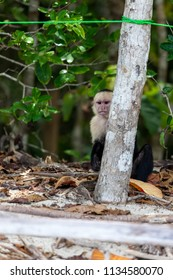 A white faced monkey peeking out from behind a small tree at tourists in Manuel Antonio natural park in Costa Rica.