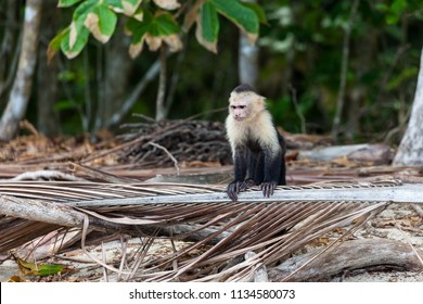 A white faced monkey resting on a dead palm leaf in Manuel Antonio natural park in Costa Rica.