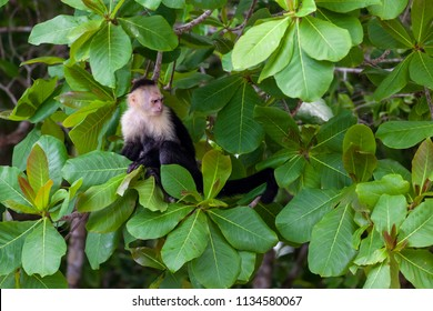 A white faced monkey sitting in a tree in Manuel Antonio natural park in Costa Rica.
