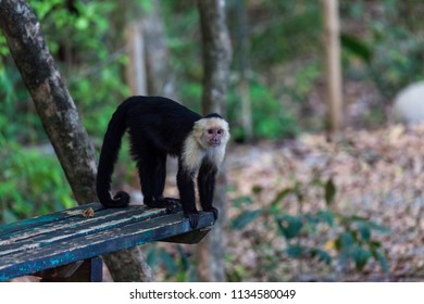 A white faced monkey standing on a bench in Manuel Antonio natural park in Costa Rica.