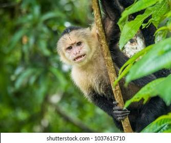 The White faced monkey, Tortuguero, Costa Rica
