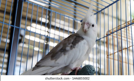 White faced pied cockatiel standing on a perch inside a cage, facing and looking directly at the camera.