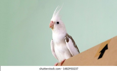 White faced pied cockatiel standing on top of a carton box, with its face facing forward.