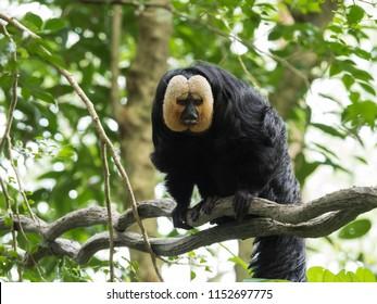 White Faced Saki Monkey