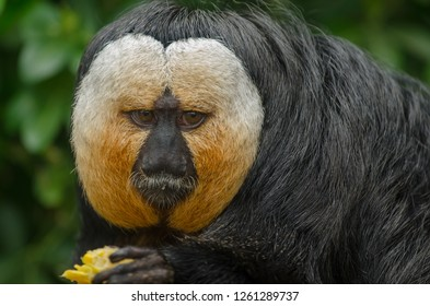 A white faced saki monkey