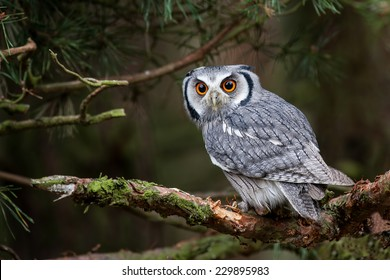 A white faced scops owl (Ptilopsis leucotis) in a tree staring with large orange eyes.