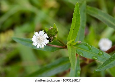 white false daisy