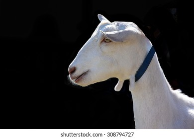 White farm goat wearing collar isolated on black background