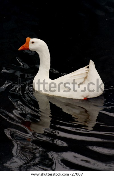 White farmyard duck on water with reflection