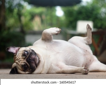 Best Indoor Chubby Adorable Dog - white-fat-lovely-pug-dog-260nw-160545617  Image_771511  .jpg