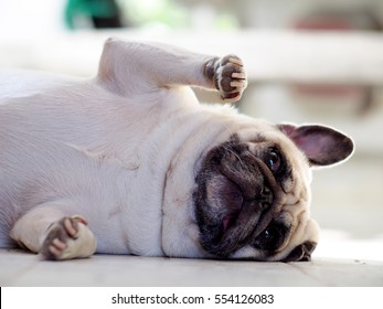 white fat lovely pug dog laying and rolling dancing on the floor making funny face and posture