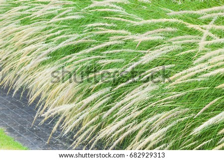 White feather flower grass plants long stock photo edit now white feather flower grass plants with long green leaves and stem growing near a pavement mightylinksfo